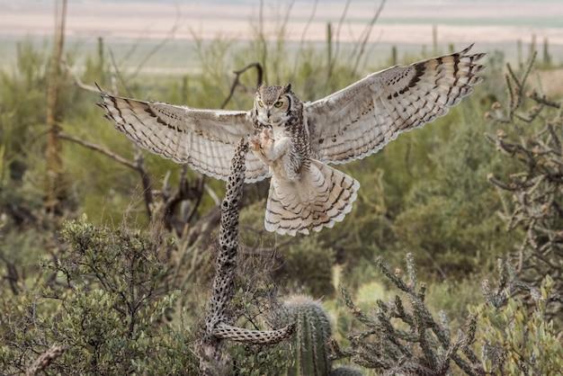 Corujão com asas estendidas e garras no deserto do arizona