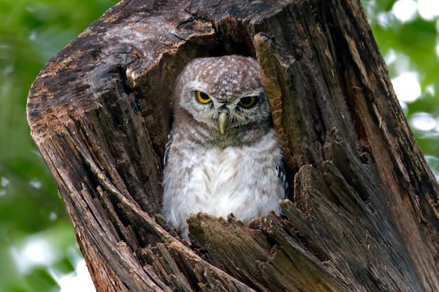 Corujinha manchada athene brama belos pássaros na árvore oca
