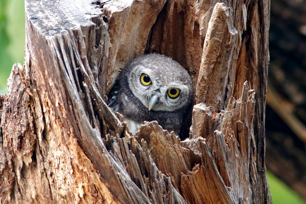 Corujinha manchada athene brama pássaro na árvore oca