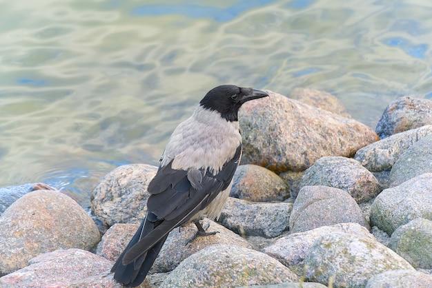 Corvo cinzento senta-se em uma pedra junto ao mar báltico.