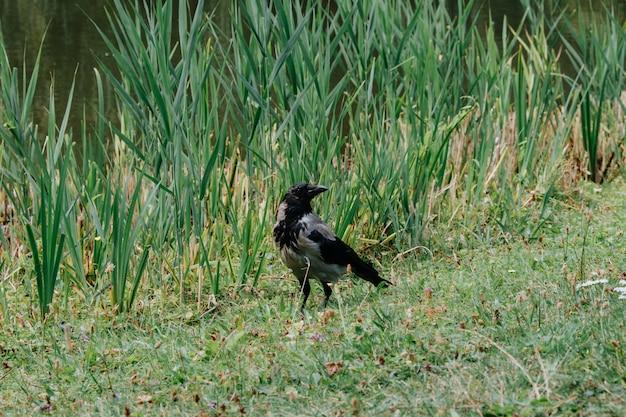 Corvo com capuz, corvo cinzento e preto em pé perto da água