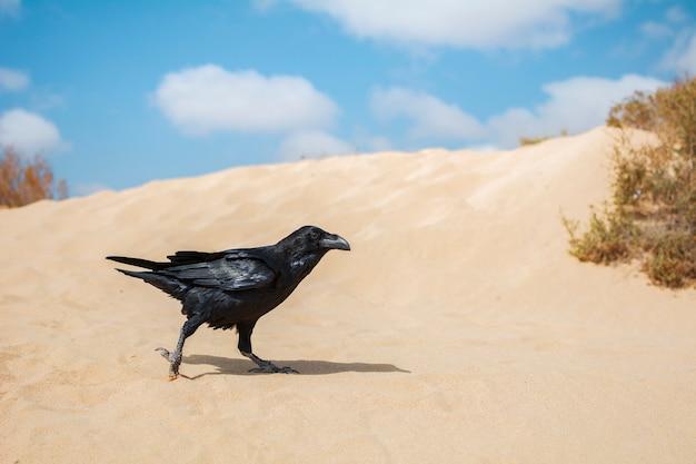 Corvo com uma bela plumagem preta brilhante andando pela areia