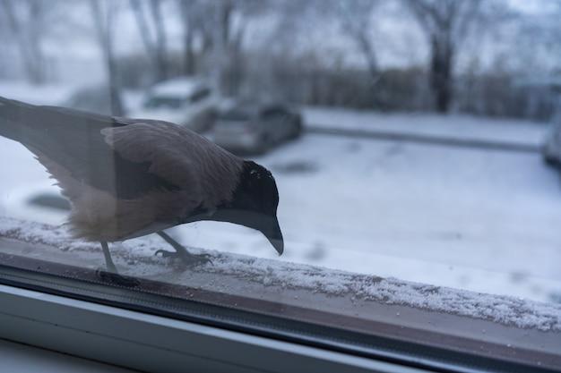 Corvo comendo fora da janela no inverno