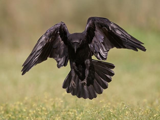 Corvo comum (corvus corax)