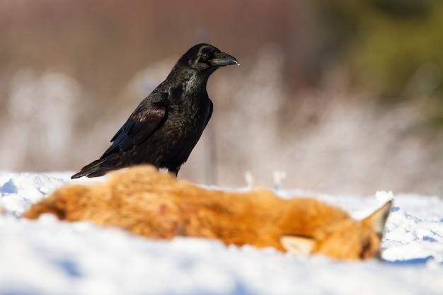 Corvo comum próximo à presa na natureza no inverno