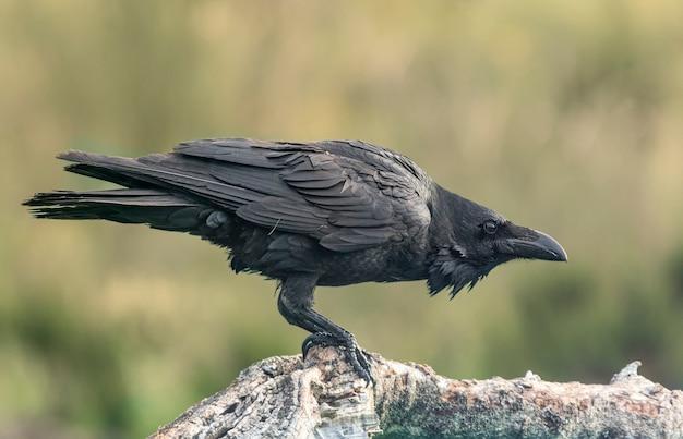 Corvo em posição agachada, empoleirado em um tronco