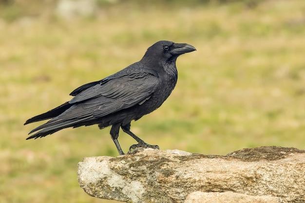 Corvo empoleirado em um galho