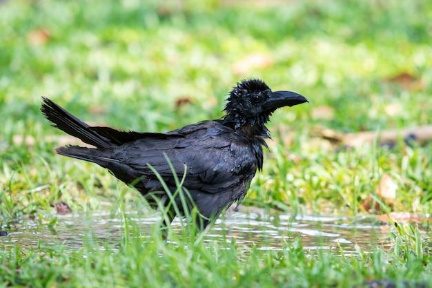 Corvo, molhando, em, parque público