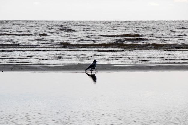 Corvo na natureza, perto da água