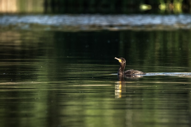 Corvo nadando em um lago