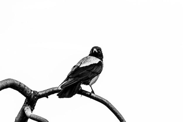 Corvo negro em um galho de árvore contra o céu olha para a lente, fotografia em preto e branco