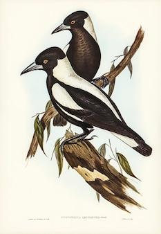 Corvo-picanço-de-dorso-branco (gymnorhina leuconota) ilustrado por elizabeth gould