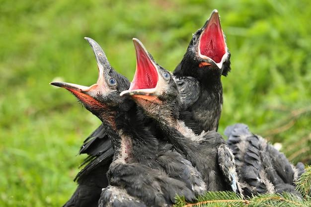 Corvo preto no habitat natural