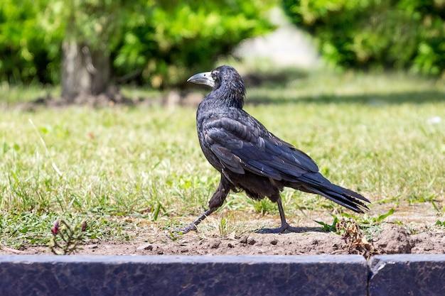 Corvo preto vai rapidamente ao longo do caminho
