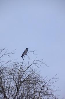 Corvo sentado em uma árvore à noite contra o céu, corvo no galho