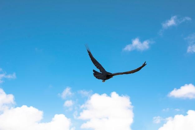 Corvo voando sobre o céu azul
