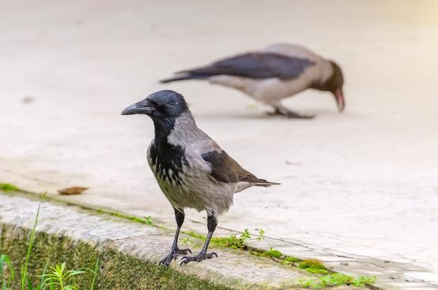Corvos cinzentos, corvos na cidade. fechar vista