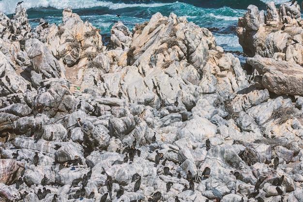Corvos-marinhos do cabo que sentam-se em umas rochas na baía de betty, áfrica do sul