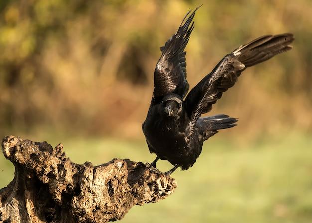 Corvus corax, corvo