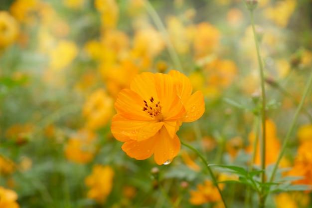 Cosmos amarelo bonito de florescência no jardim.