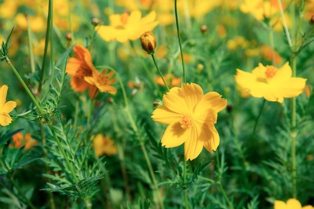 Cosmos amarelo no jardim