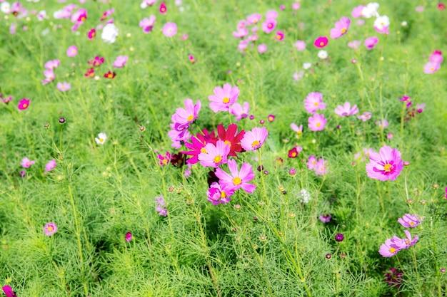 Cosmos cor-de-rosa com bonito
