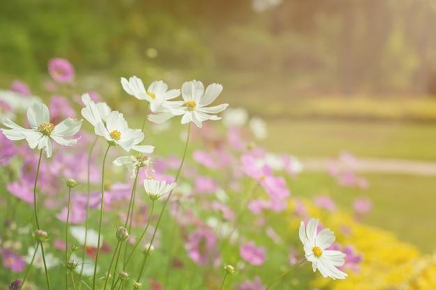 Cosmos cor-de-rosa e branco no jardim. fundo filtrado