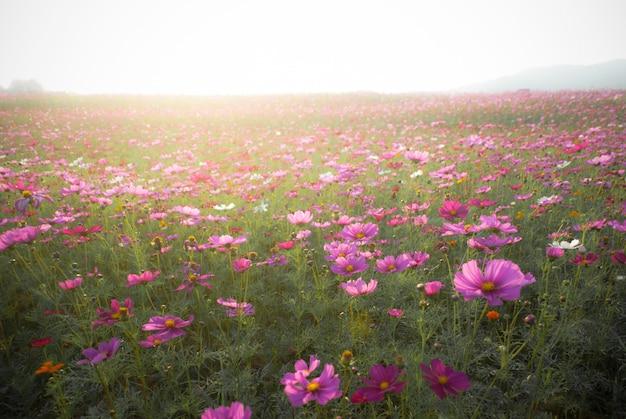Cosmos da flor da paisagem e luz solar natural.