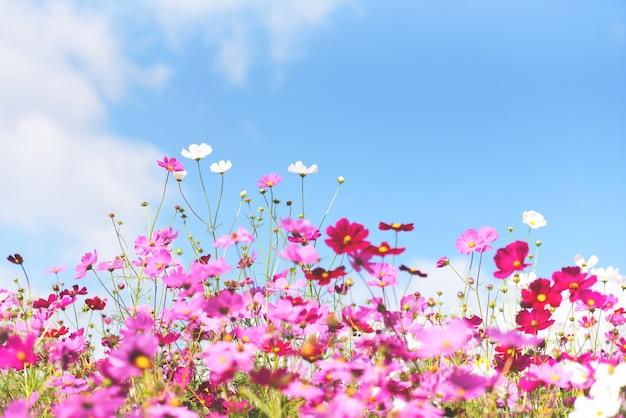 Cosmos de flores cor de rosa coloridas no jardim no fundo do céu azul brilhante fresco - linda flor de cosmos na natureza