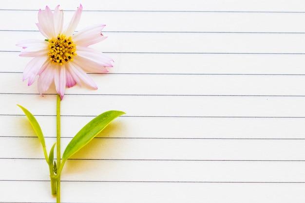 Cosmos de flores rosa em estilo de cartão postal de papel