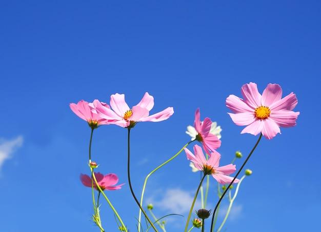 Cosmos-de-rosa sobre fundo de céu azul