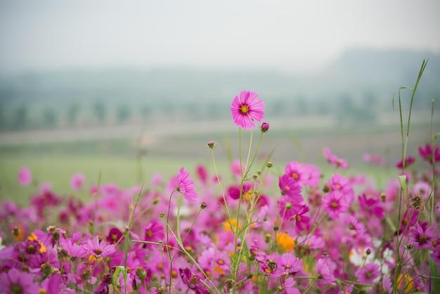 Cosmos, flor, de, grassland