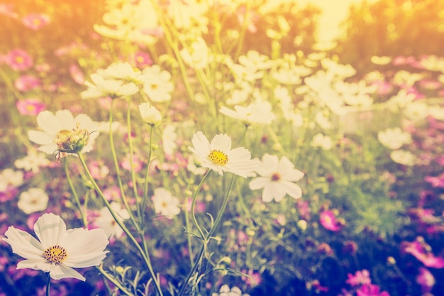 Cosmos flor e luz solar em campo prado com tom vintage.