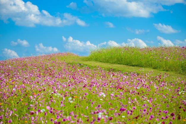 Cosmos flor no campo
