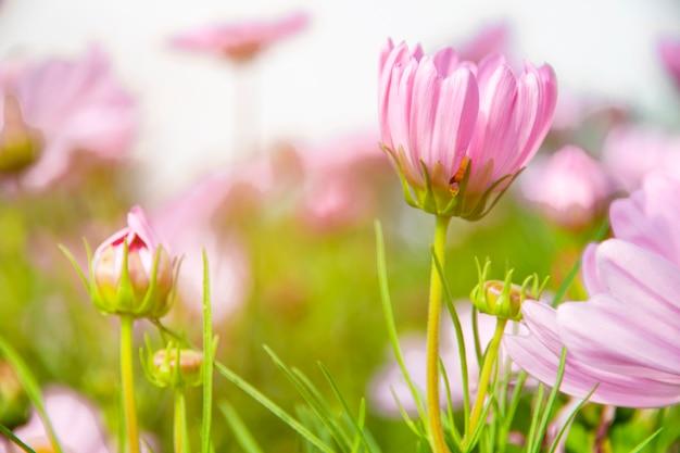 Cosmos flor no jardim