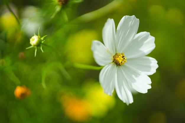 Cosmos flor no quintal