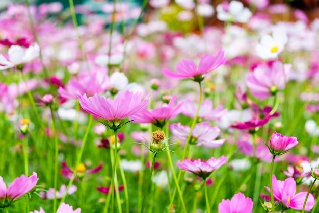 Cosmos flor rosa branca no jardim