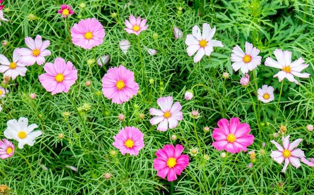 Cosmos flor rosa campo branco