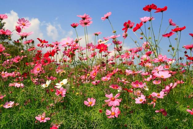 Cosmos flor rosa no jardim