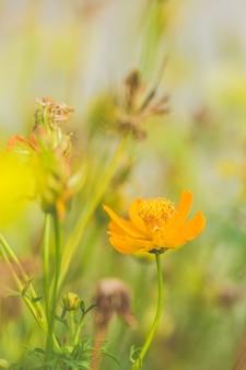 Cosmos, flores amarelas, com, bonito, borrão, fundo, verde, usado, como, ilustrações