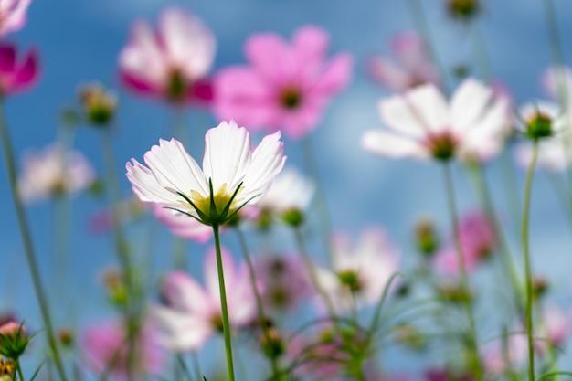 Cosmos flores contra o céu azul brilhante