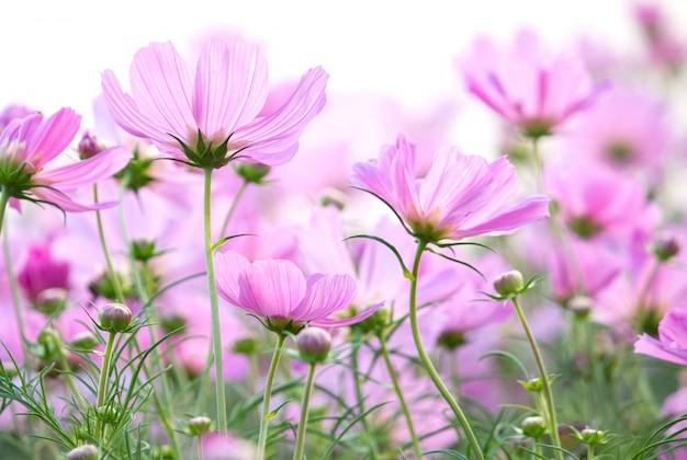 Cosmos flores isolado no fundo branco