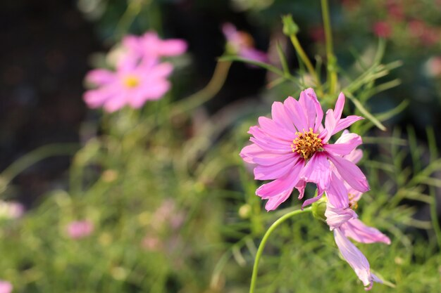 Cosmos flores no tropical