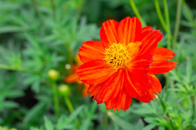 Cosmos flowers no jardim.
