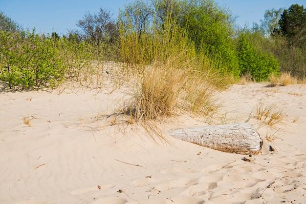 Costa do mar do logon da madeira lançada à costa. dia ensolarado de verão. letônia. rio chamado gauja
