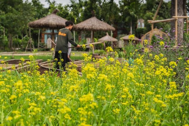 Couve chinesa cresce flores em uma fazenda.