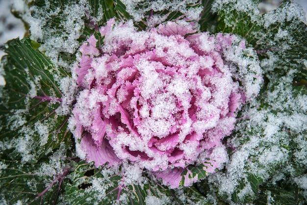 Couve decorativa rosa no jardim coberto de neve branca