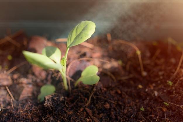Couve pequena que cresce fora do solo preto com luz solar na manhã de primavera