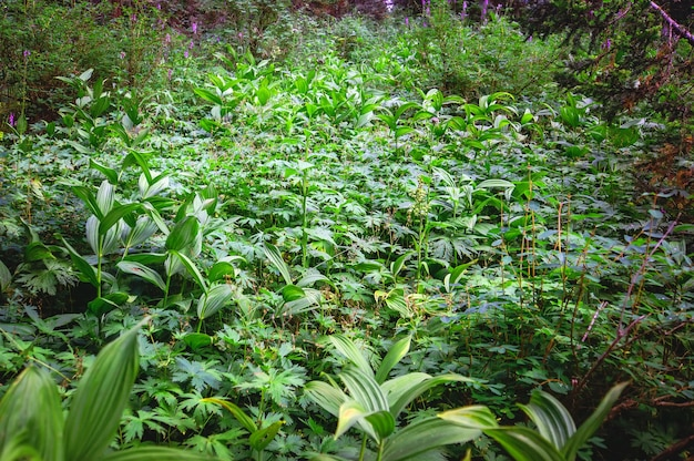 Covert coberto com grama verde. taiga siberiana