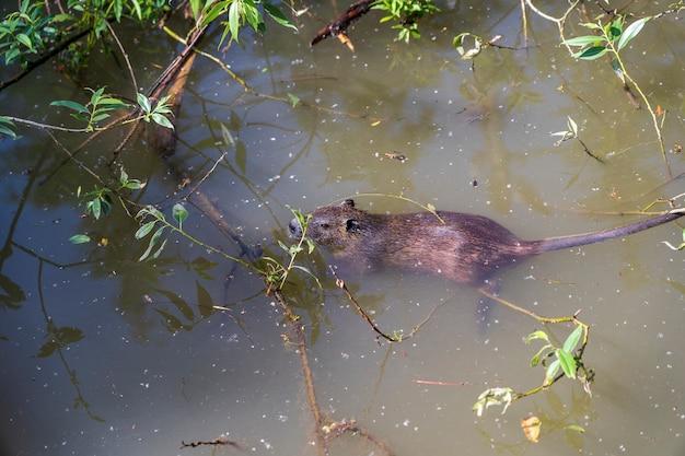 Coypus myocastor selvagem, nadando na água do lago, transnístria, moldávia, close-up. nutria ou coypu na água no verão